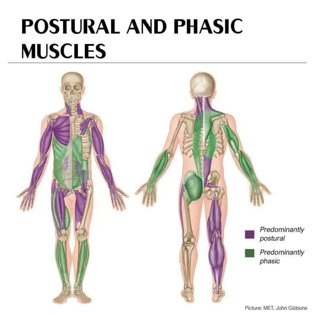 fibre muscolari fasiche e toniche